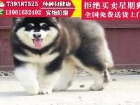 武汉宠物狗狗 武汉阿拉斯加幼犬 武汉养殖场 全国免费送货上门