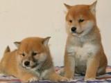 成都狗狗之家长期出售高品质 柴犬 售后无忧