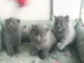 出售自家英短猫