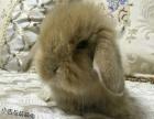 卡哇伊小垂耳兔,盖脸猫猫兔出售