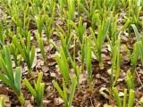 大蒜叶片发黄的大原因有效防止用植物挑战王