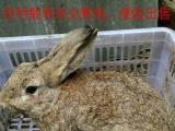 2个月散养杂交野兔
