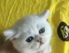 Mango cat cfa注册猫舍