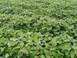 河南开封脱毒红薯苗基地-大量供应高淀粉红薯苗