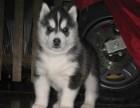 精品三把火双蓝眼睛赛级哈士奇幼犬出售,保证健康纯种