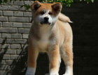 日系柴犬幼犬 血统纯正健康保障 市区可送上门