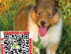 三亚松狮图片价格 松狮幼犬宠物狗养殖基地 松狮领养赠送