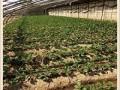 四季草莓苗批发价格 草莓苗哪里有