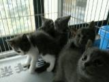 英短蓝猫两个月啦