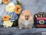 南京哪里卖白色俊介犬 南京哪里有黄色俊介出售 黄博美价格