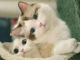 蕪湖出售自家繁殖純種金吉拉幼貓 賽級品質 漂亮可愛