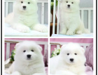 本地犬舍繁殖精品萨摩耶犬 健康质保 放心挑选