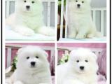 自己家養的雙血統薩摩耶犬 顏值高 忍痛出售