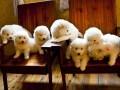 曲靖哪有萨摩耶犬卖 曲靖萨摩耶犬价格 曲靖萨摩耶犬多少钱