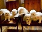 上海哪里有萨摩耶犬卖 泰迪金毛哈士奇秋田博美阿拉多少钱价格