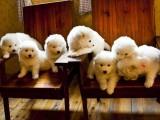 徐汇区哪有萨摩耶犬卖 徐汇区萨摩耶犬价格 萨摩耶犬多少钱
