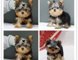 约克夏 超小体约克夏幼犬可免费送货到家 超萌可爱