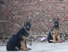 中国专业繁殖双血统牧羊犬犬舍 可以上门挑选
