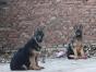 中国较大双血统牧羊犬繁殖基地 可实地考察