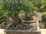 枣庄市聚鑫石榴树苗木基地 大量出售各种规格石榴树苗木
