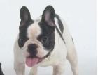 周口本地狗场斗牛犬等几十个狗品种,可视频看狗,送货