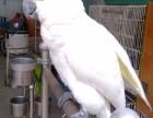 出售葵花鹦鹉 小黄帽亚马逊鹦鹉 蓝帽 迷你金刚 大绯胸鹦鹉