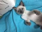 自家猫舍繁殖出售 暹罗猫 签正规协议 可刷卡可送货