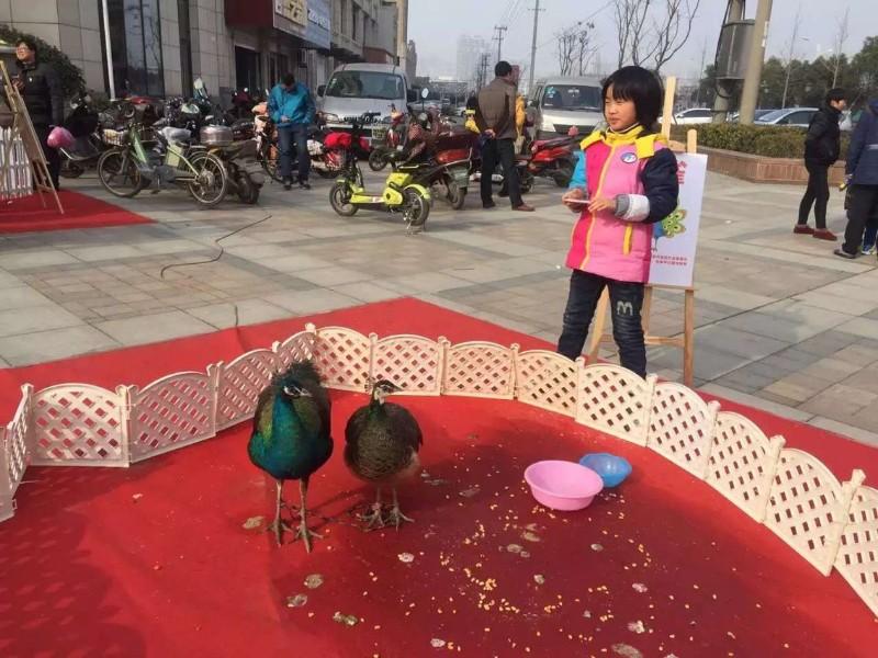 上海奉贤区租赁蓝孔雀-白孔雀转租-孔雀出租-商场超市周年庆
