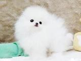 成都 出售 纯种博美 包犬瘟细小包健康 三个月有问题包退换