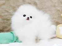 成都 出售 純種博美 包犬瘟細小包健康 三個月有問題包退換