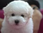 天津什么地方有狗场卖宠物狗/天津哪里有卖比熊犬