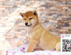 哪里有卖柴犬 出售纯种柴犬犬舍在哪里