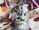 宠物猫美短虎斑折耳加白