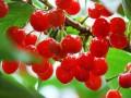 泰安哪里的樱桃好吃,能够进行采摘?