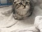 家养纯种的折耳幼猫一窝出售,,公母都有保证健康