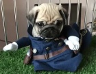 出售憨憨可爱巴哥幼犬,囧子脸,是您不可或缺的爱宠