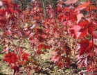 大连出售五角枫柳树苗美国红枫松树苗金叶复叶槭