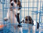 宠物店里的比格犬可以买吗 健不健康
