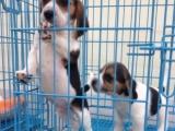 高品质双血统比格犬哪里可以买到好一点的