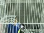 爱宠魔王松鼠出售。