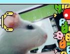 2只荷兰猪求收养