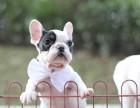 重庆出售法国斗牛犬宝宝 品质品相超好 购买保障售后