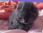 家养可爱折耳猫,求收养
