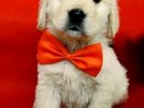 正規犬舍繁殖金毛等名犬 健康保障簽協議包活可送貨
