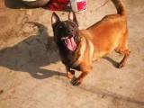 高品质红马爆红马犬工作犬护卫大型犬幼崽健康纯种一手繁殖