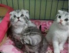幸福猫舍出售自己家养繁殖超萌美短加白宠物猫