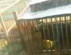 自家繁殖鸟出售