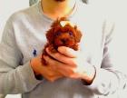 500起出售纯种茶杯玩具泰迪犬 品相好 颜色齐 包售后包健康