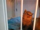 各种名猫配种批发蓝猫,虎班等幼猫