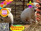 犬舍纯种杜高杜高幼犬赛级杜高犬欢迎上门疫苗齐全